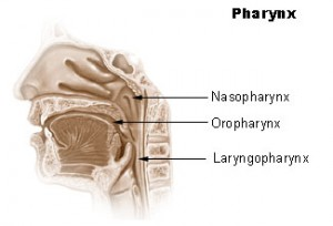 pharynx2