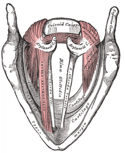 Vocal cord muscles