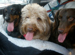 Dogs-Panting